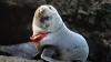 """""""Prizonierul"""" lenjeriei intime. Păţania unui pui de focă din Noua Zeelandă"""