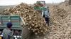 Seceta din acest an a afectat grav recolta la sfecla de zahăr