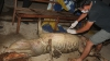 Ultimul exemplar de crocodil siamez din Vietnam a fost găsit strangulat