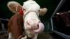 """Maşini agricole de ultimă generaţie şi animale haioase la expoziţiile """"Moldagroteh"""" şi """"Farmer"""" GALERIE FOTO"""