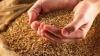 Grâu distribuit cu nereguli în raionul Cantemir. Lista beneficiarilor nu corespunde cu cea prezentată la Ministerul Agriculturii
