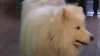 Geniu la matematică: Un căţel ştie să facă socoteli de artimetică VIDEO