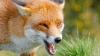 Şapte avioane, implicate într-o campanie naţională de vaccinare a vulpilor contra rabiei