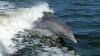 Delfinul La Plata, singura specie care trăieşte în apa dulce şi sărată, este pe cale de DISPARIŢIE