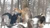 Vânătorii duc dorul vremurilor trecute: Vulpile s-au făcut mai hâtre, braconieri sunt mulţi