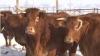 Premieră pentru Moldova: A fost deschisă prima fermă de vaci pentru carne din ţară VIDEO
