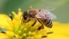 Pesticidele afectează grav creierul albinelor, spun cercetătorii