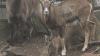 Bucurie la Grădina Zoologică din Capitală. Au venit pe lume trei pui de mufloni