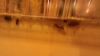 (VIDEO) Gândaci de bucătărie într-un cunoscut restaurant din Chişinău. Ai mâncat şi tu acolo cel puţin o dată