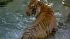 Sute de experţi s-au adunat în Nepal pentru a efectua recensământul tigrilor