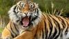 Un îngrijitor de la Grădina Zoologică a ajuns în stare gravă la spital, după ce a fost muşcat de un tigru