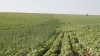 """Un nou mod """"de a face agricultură"""" în Moldova. Un fermier a semănat cânepă pe un lan de floarea-soarelui VIDEO"""
