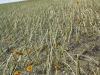 Ploaia cu grindină de ieri a stricat planurile unor fermieri. Cum arată plantaţiile de floarea-soarelui din Făleşti (FOTO)