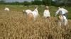 S-a dat start primului seceriş. Ministrul Agriculturii prognozează o ieftinire a grâului