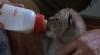 Un pui de râs, abandonat de mama sa la Grădina Zoologică. Îngrijitorii îl hrănesc cu biberonul VIDEO