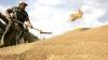 (VIDEO) Grâul mult, sărăcia fermierilor. De ce recolta bogată din acest an dă bătăi de cap la fel ca seceta