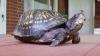 Şi-a scris numele pe carapacea unei broaşte ţestoase. INCREDIBIL ce s-a întâmplat după 47 de ani FOTO