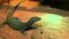 Cameleoni, şerpi, şopârle şi un pui de alligator au fost furaţi din cel mai vechi terariu din Australia