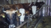 Conducerea Direcţiei pentru siguranţa alimentelor din Soroca: Animalele din Vădeni urmau a fi vaccinate încă în martie