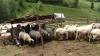 Cu 12.000 de lei, şi-a făcut o afacere profitabilă din creştearea oilor