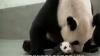 Întâlnire emoţionantă între mama-panda şi puiul ei (VIDEO)