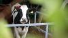 Foşti infractori, prinşi din nou de poliţie. Au furat 11 vaci şi piese auto