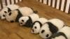 Cadou inedit pentru chinezi: 14 ursuleţi panda au fost prezentaţi pentru prima dată publicului (VIDEO)