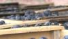 Rosselhoznadzor a blocat un nou lot de fructe moldoveneşti. Peste 19 tone de prune au fost întoarse exportatorului
