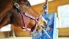 Povestea calului care pictează cu dinţii: Operele sale se vând pe bani buni şi reuşeşte să se întreţină singur