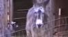 Evadare ca în filme: Cum scapă o capră din ţarc, ajutată de un măgar VIDEO