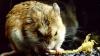 Şoarecele care ucide scorpioni şi urlă la lună. Secretele unui rozător cu comportament neobişnuit (VIDEO)