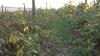 """Fermierii din Moldova nu sunt interesaţi de creşterea produselor ecologice. """"Anul acesta am rămas doar cu murele"""""""