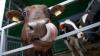 Curtea de Apel a dat câştig de cauză autorităţilor în litigiul cu furnizorul de vaccinuri pentru animale