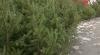 În capitală a început vânzarea pomilor de Crăciun. AFLĂ ce preţuri au afişat comercianţii (VIDEO)