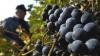 Ajutor de la stat pentru vinificatorii care nu-şi pot achita creditele din cauza embargoului impus de Rusia