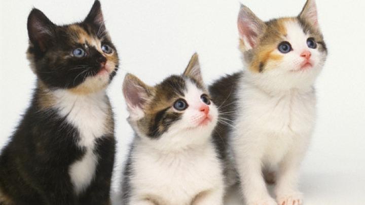 Spectaculos! Cafeneaua cu pisici, moment de relaxare pentru clienţi