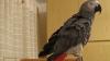 """Un papagal face senzaţie pe Internet cu """"patriotismul"""" de care dă dovadă (VIDEO)"""