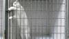 """Motanul poreclit """"regele evadărilor"""" reuşeşte mereu să scape din cuşca încuiată (VIDEO)"""