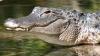 Ce se întâmplă când un aligator atacă un ţipar electric. Urmarea este spectaculoasă (VIDEO)