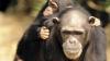 NO COMMENT! Cimpanzeul care știe să facă focul și își coace ciuperci (VIDEO)