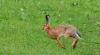 Competiţie inedită cu ocazia sărbătorilor de Paşte! 20 de iepuri s-au întrecut la sărituri cu obstacole (VIDEO)