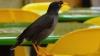 Îţi prezentăm pasărea care ştie să vorbească cu stăpânul său la telefon (VIDEO)