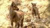 Bucurie mare la Grădina Zoologică! S-au născut cinci pui de cangur, şase mufloni şi un ieduţ (VIDEO)