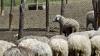 Tradiţii păstoreşti de Sfântul Gheorghe. Ce ritualuri respectă ciobanii pentru a avea un an îmbelşugat (GALERIE FOTO)