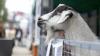 Festivalul crescătorilor de oi și capre, la Cimișlia. La eveniment au fost aduse rase cunoscute pentru producția de lapte