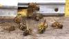 Miere cu gust amar. Un apicultor a pierdut zeci de familii de albine