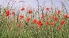 MAC 2014: Mii de plante psihotrope au fost secerate de poliţişti în nordul Moldovei (VIDEO)