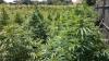 Lanuri cu plante interzise, descoperite de poliţişti. Unde şi-au ascuns culturile cei mai ingenioşi gospodari