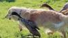 Prieteni la cataramă! Patru raţe s-au îndrăgostit de un labrador (VIDEO)