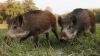 Localnicii din Copanca luptă cu porcii sălbatici, care le mănâncă culturile. Ce alte probleme le macină viaţa sătenilor